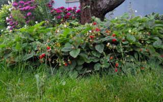 О сорте земляники Руяна: описание, особенности выращивания, как ухаживать