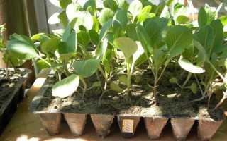 Как посадить раннюю капусту в открытый грунт, правильная посадка рассады