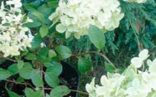 О сорте гортензии Диамантино: описание сорта, как посадить и ухаживать