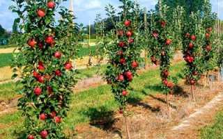 О яблоне колоновидной Поэзия: описание и характеристики сорта, посадка и уход
