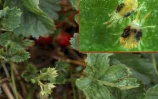 Когда и чем обрабатывать кусты смородины от вредителей и болезней