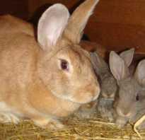 Крольчата: через сколько дней новорожденные открывают глаза и выходят из гнезда
