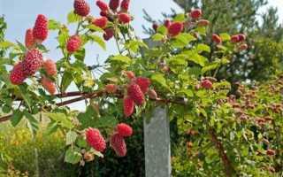 Малиновое дерево Таруса: характеристики сорта, особенности по уходу