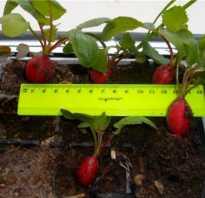 Все о замачивании семян редиски перед посевом: все необходимо для всхожести