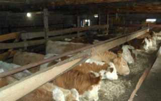 Условия для выращивания бычков на мясо (откорм КРС в домашних условиях)