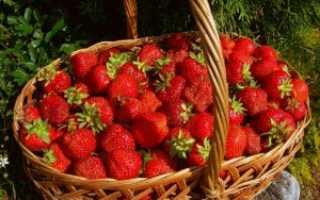 О клубнике Маршал: описание сорта, агротехника посадки и выращивания