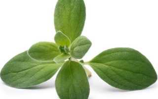 Все о майоране: что за растение, свойства, для чего используется
