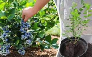Как посадить садовую голубику правильно: выращивание, размножение, уход