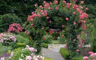 О частоте и правилах полива роз летом в жаркую погоду в открытом грунте, в саду