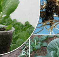 Как избавиться от килы на капусте, меры борьбы, как посадить чтобы ее избежать