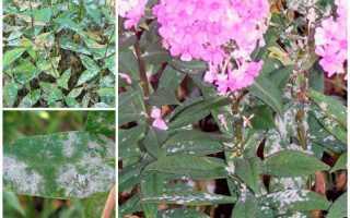 Как избавиться от белого налета на флоксах, чем лечить мучнистую росу