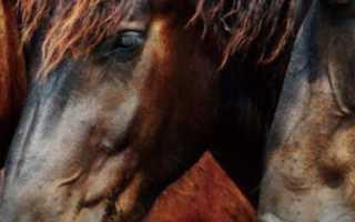 Каурая масть лошади: какого цвета каурая лошадь, описание, расцветки