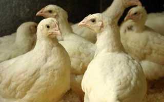 Могут ли нестись бройлеры в домашних условиях (яйца бройлерных кур)