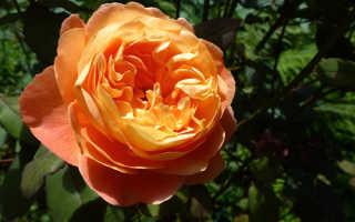 О розе Леди Эмма Гамильтон: описание и характеристики, уход и выращивание