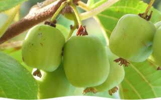 Как сажать актинидию: особенности по уходу, размножению, сбору урожая
