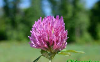 О клевере луговом: как выглядит растение, сфера применения, семейство