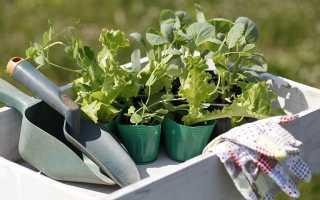 О выращивании капусты кольраби: правильное время для высадки, уход