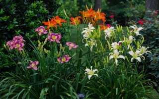 О видах и сортах лилейников (желтых, красных, оранжевых, бордовых)
