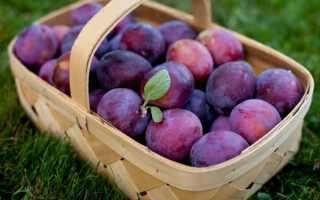 Чем отличается алыча от сливы, описание сорта, агротехника выращивания