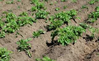 Расход картофеля при посадке на 1 сотку, норма высева, густота