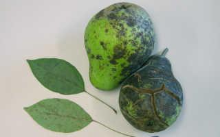 О болезнях груши: чернеют листья и плоды, как лечить, методы борьбы