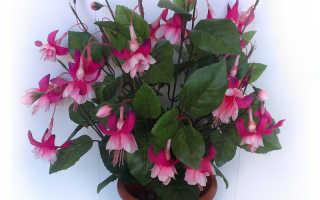 Причины отсутствия цвета у фуксии: что сделать, чтобы растение зацвело