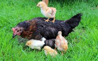 Как подсадить цыплят под наседку, что делать после того, как клуша вывела цыплят
