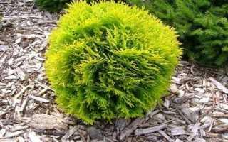О туе Мириам западная: описание растения, как посадить и ухаживать