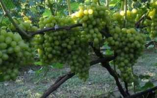 Как правильно поливать виноград, как часто поливать весной и летом