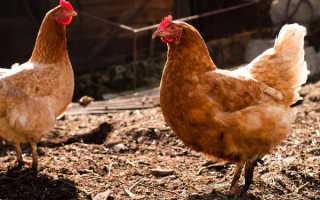 Как подсадить новых кур к старым курицам и что делать, если клюют молодку