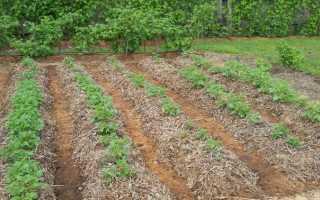 Выращивание картофеля под соломой: посадка, уход, возделывание, сбор