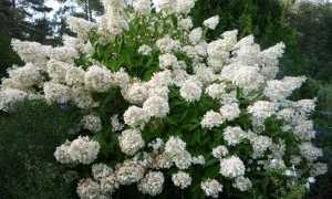 Как посадить гортензию метельчатую: как ухаживать за растением после посадки