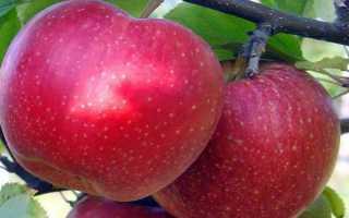 О яблоне Антей, описание, характеристики сорта, агротехника выращивания