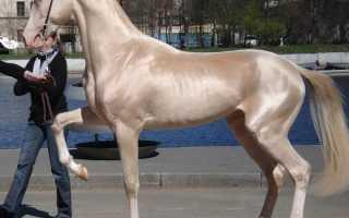 Об ахалтекинской лошади: туркменский конь ахалтекинец, описание, характеристики