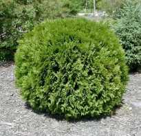 О туе Глобоза: описание сорта, как посадить и ухаживать за растением