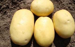 Вега: описание семенного сорта картофеля, характеристики, агротехника