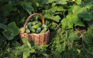 Агротехника выращивания огурцов: правильная посадка, технологии по уходу