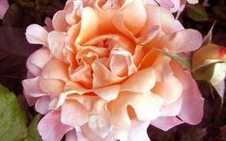 О розе Раффлс (Ruffles): описание и характеристики сортов, уход и выращивание