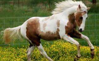 Пегая масть лошади: описание и особенности лошадей пятнистых мастей