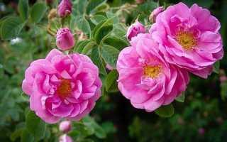 О дамасской розе: описание и характеристики, уход и агротехника выращивания