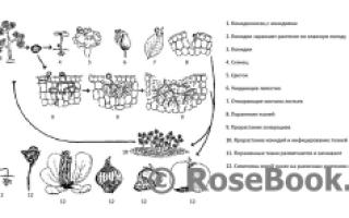 О серой гниле на розах: как бороться, эффективные способы лечения ботритиса