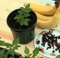 Банановая кожура как удобрение для рассады помидор, корки для полива