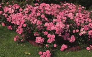 Об уходе и выращивании почвопокровных роз: посадка в открытый грунт, размножение