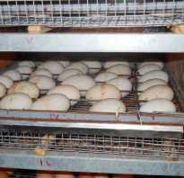 Все об инкубации гусиных яиц в домашних условиях: таблица температуры, влажность