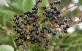 Как посадить и вырастить черную бузину в саду: условия для выращивания растения
