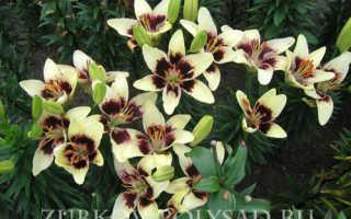 Какая земля нужна лилиям: кислая или щелочная (почва для садовых лилий)