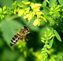 Как выглядит настоящая пчела: строение, сколько крыльев, все о пчелиной семье