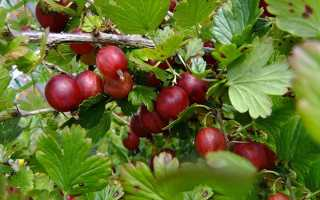 Крыжовник Черносливовый: описание и характеристики сорта, выращивание