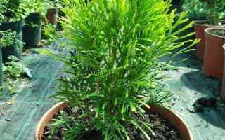 О туе Голден Смарагд: описание сорта, как посадить и ухаживать за растением
