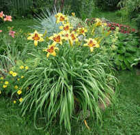 Все о лилейнике: агротехника выращивания в открытом грунте и в домашних условиях